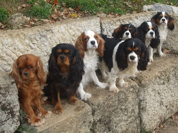 Elevage Cavalier King Charles A Vendre Chiot Cavalier King Charles
